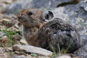 A pika is sitting on rocky ground