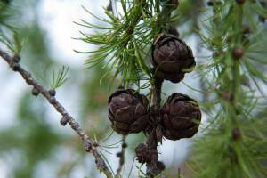 Close up of cones and needles of a tamarack