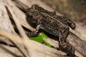 Toad walking across dead grass