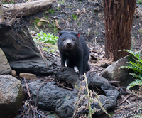Tasmanian Devil surveys the scene from some rocks