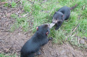 Tasmanian Devils tug of war
