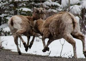 One Bighorn Sheep headbutts the other in the shoulder.