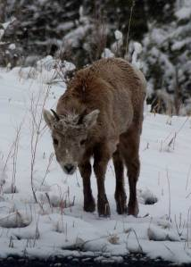 Young Bighorn Sheep standing in the snow