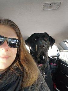 A black lab sitting behind a person in a car