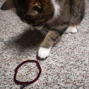 Cat pawing at a pipe cleaner twisted into a circle