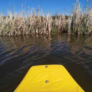 The nose of a kayak floating on water, facing reeds on the edge of a lake
